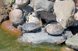 Żółwie przed hotelem - Hotel Faltom